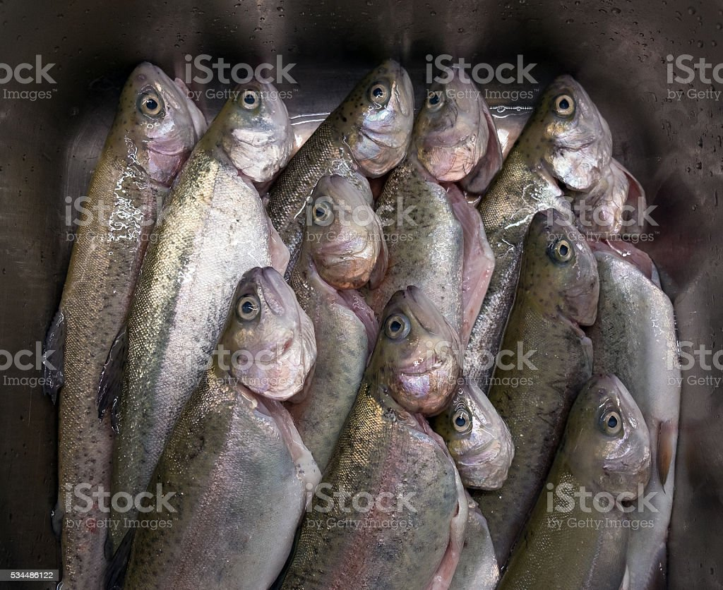 Gutted Trouts in a Sink stock photo