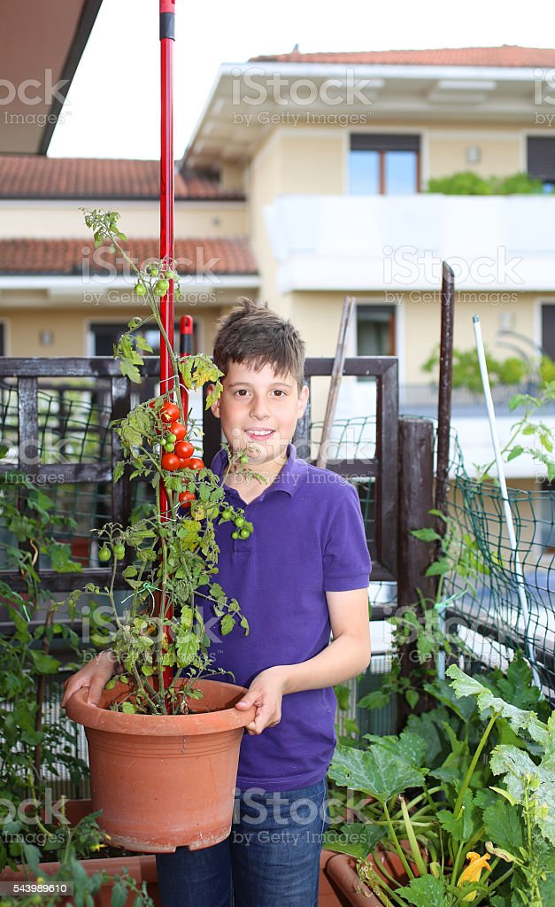 Guy in his urban garden with red tomatoes stock photo