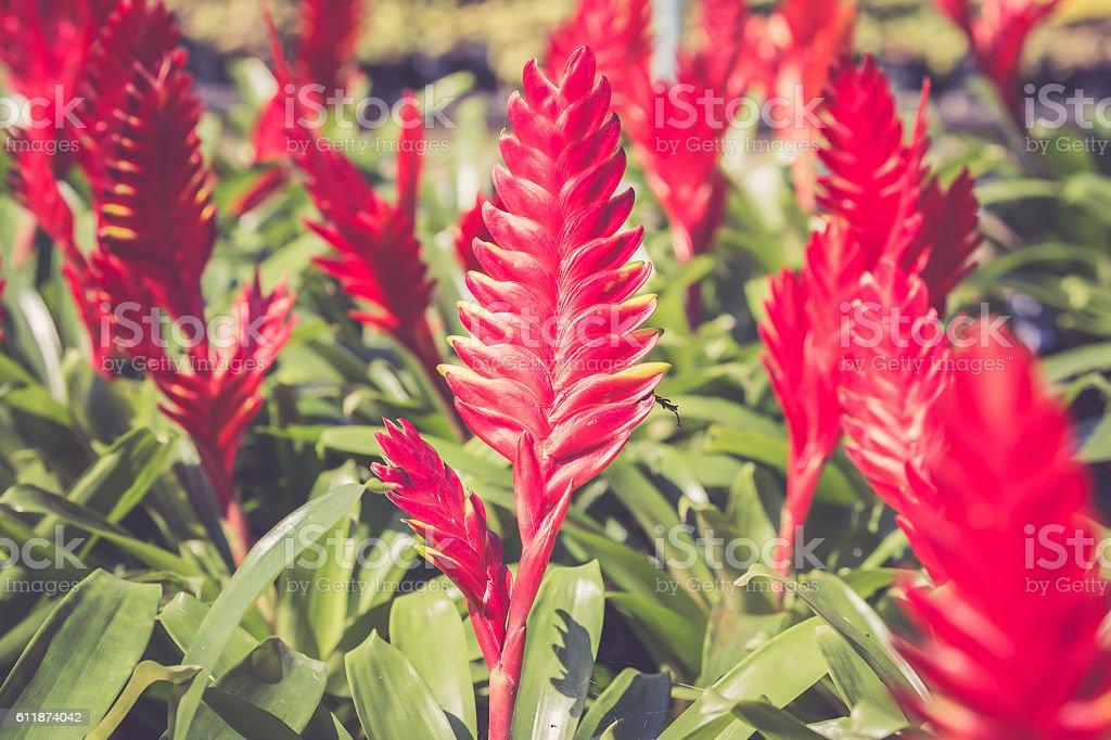 Guzmania flower. stock photo