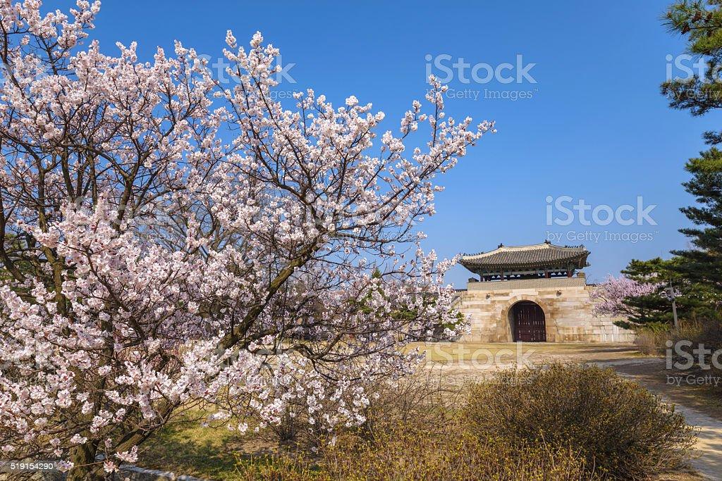 Gyeongbokgung Palace with cherry blossom, Seoul, South Korea stock photo