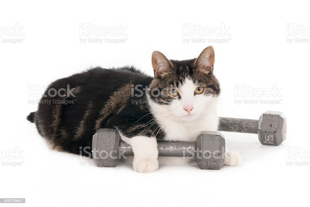 Gym cat with kettlebell stock photo
