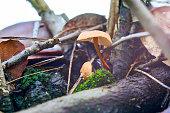 Gymnopus peronatus mushrooms in Mediterranean forest