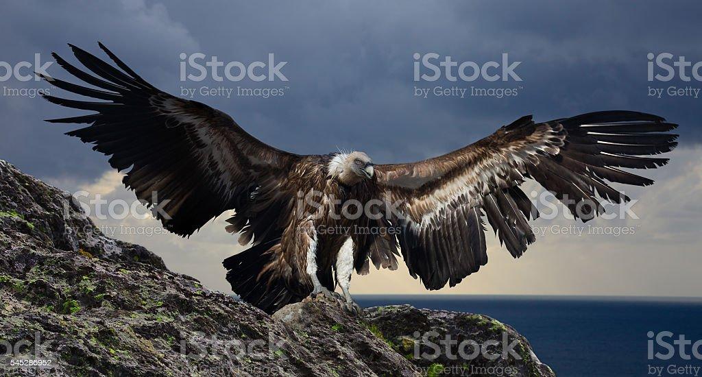 gyps flying mountains stock photo