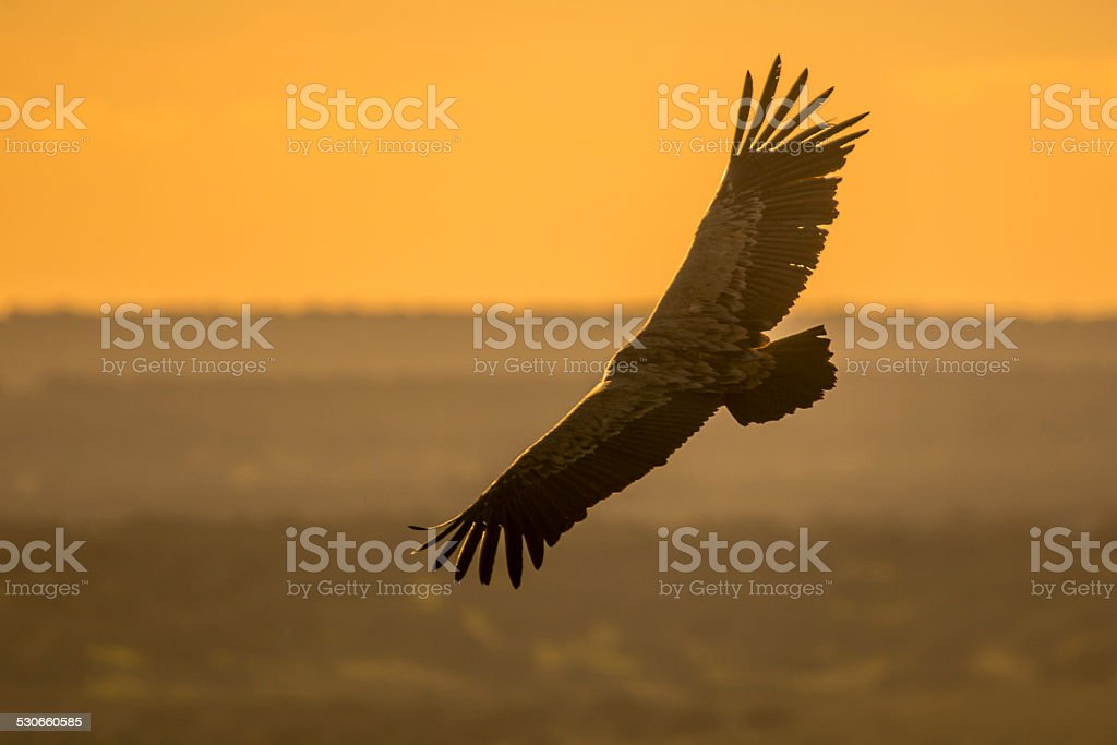 Gyps fulvus stock photo