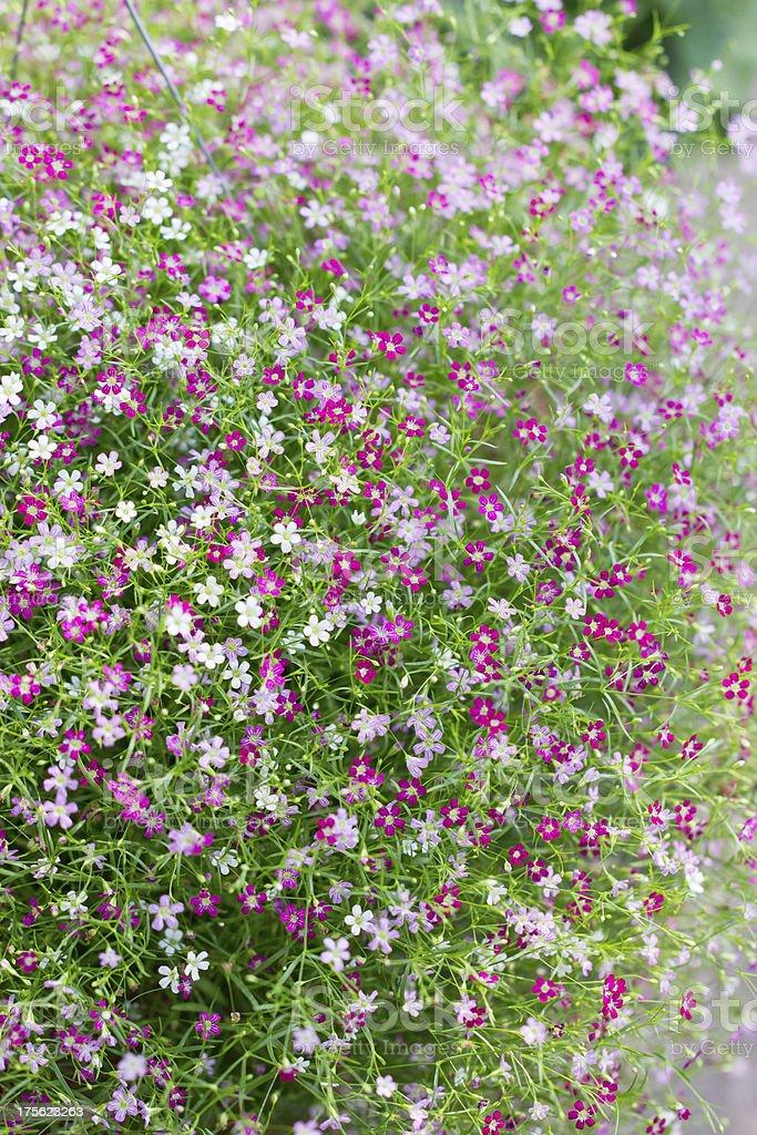 Gypsophila flowers. royalty-free stock photo