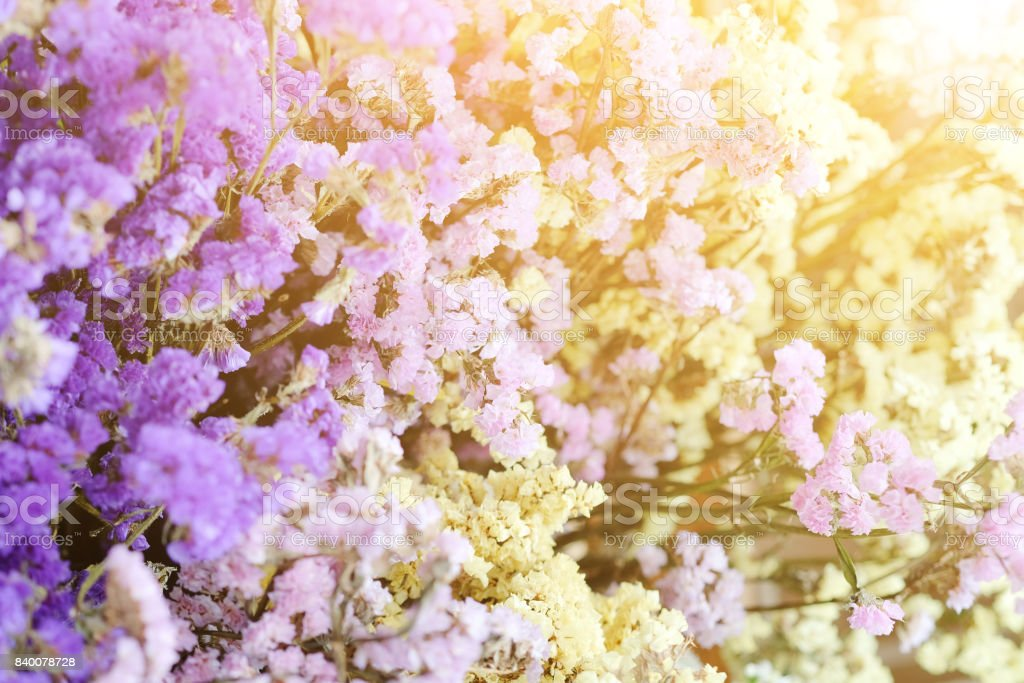 Gypsophila flowers stock photo