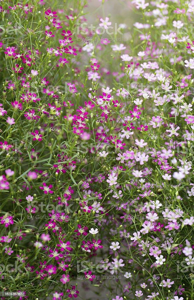 Gypsophila royalty-free stock photo