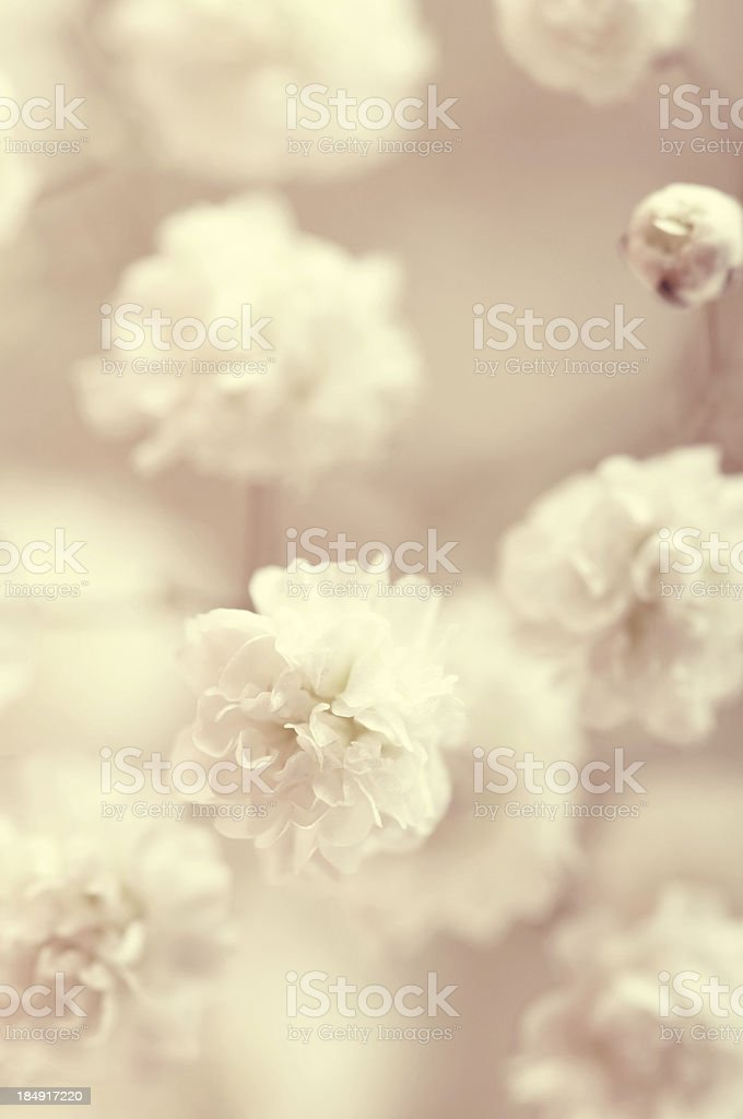 gypsophila royalty-free stock photo