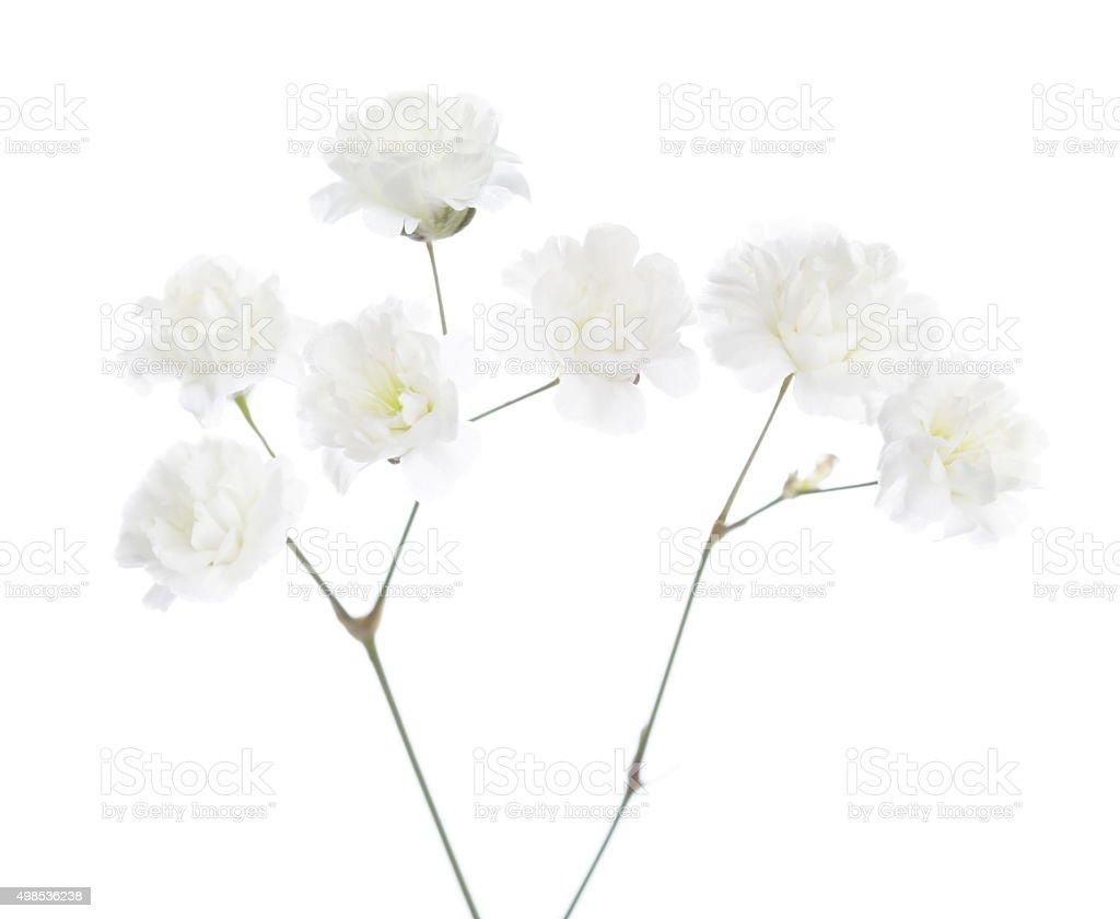Gypsophila stock photo