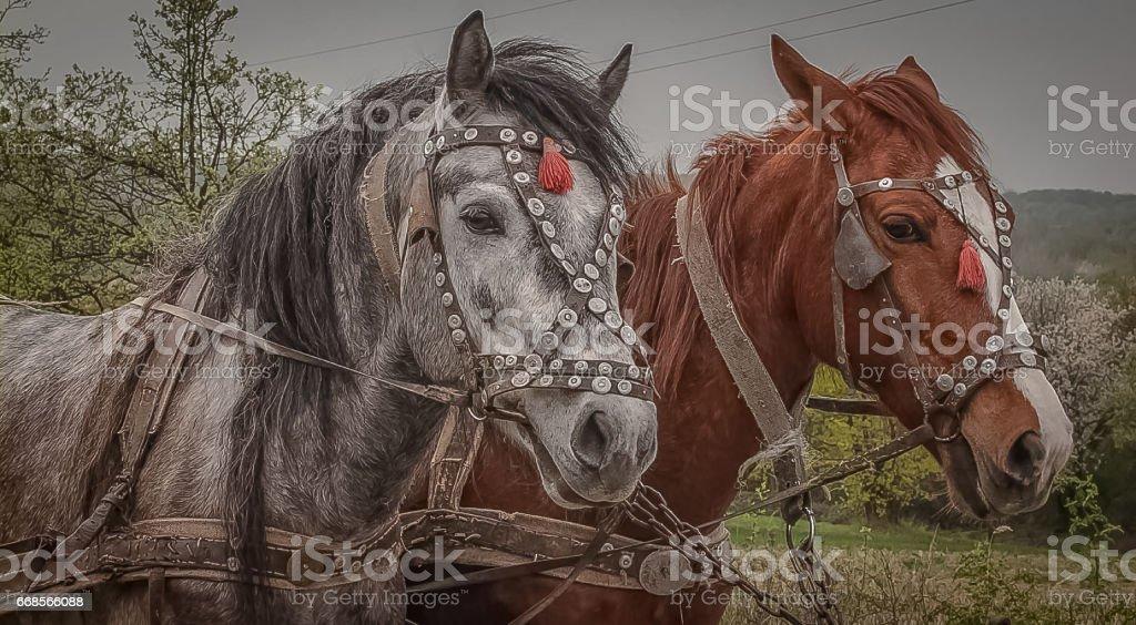 Gypsy horses stock photo