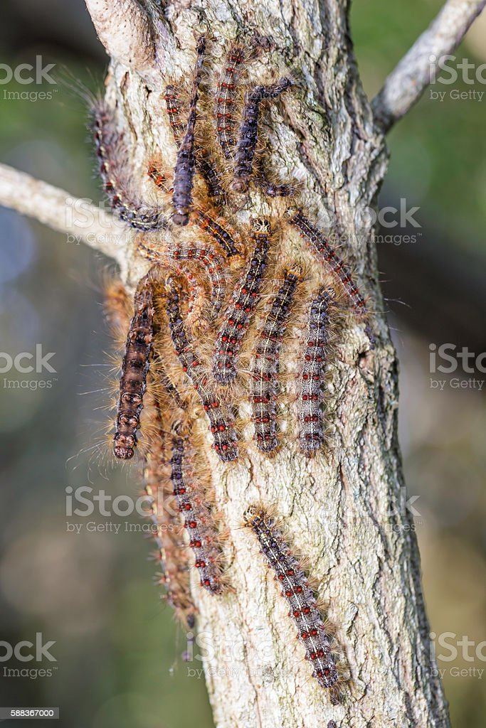 Gypsy Moth Caterpillar stock photo