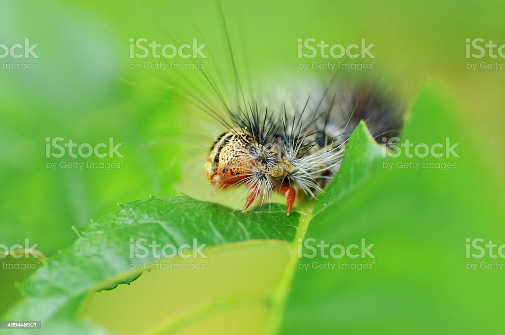 Gypsy moth caterpillars stock photo