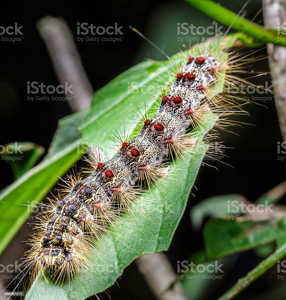 Gypsy Moth Eating a Leaf stock photo