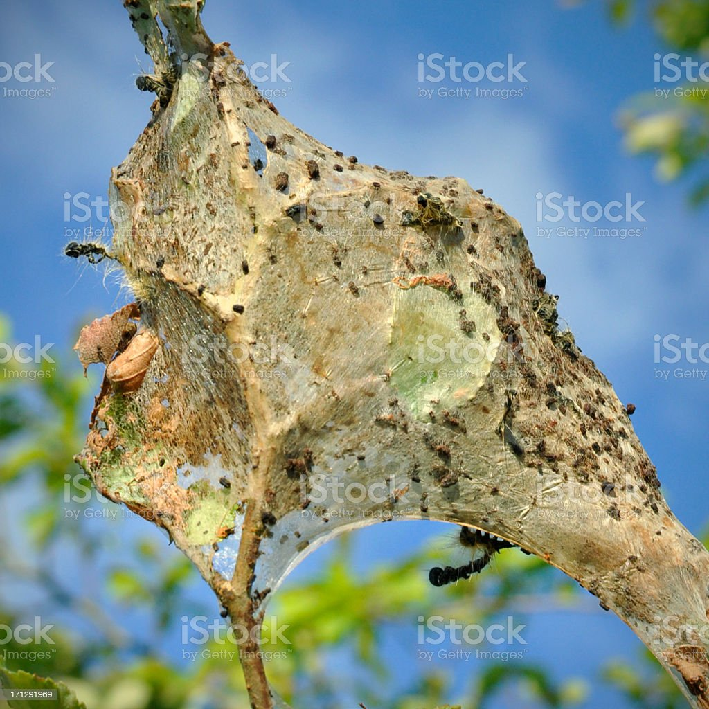 Gypsy Moth egg mass (Lymantria dispar) on a tree branch stock photo