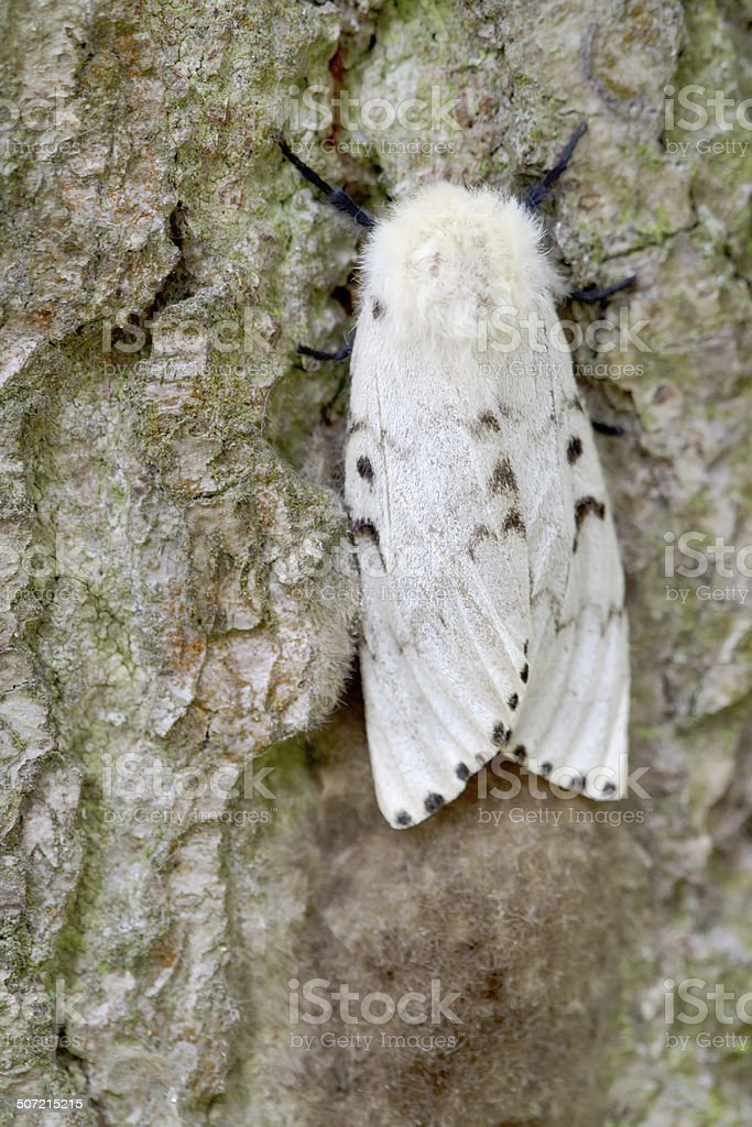 Gypsy Moth (Lymantria dispar) Female stock photo