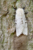 Gypsy Moth (Lymantria dispar) Female