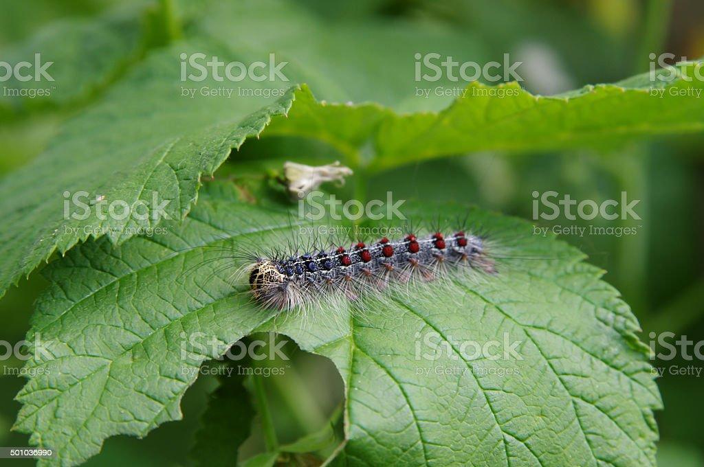 Gypsy moth (Lymantria dispar) on a raspberry leaf closeup stock photo