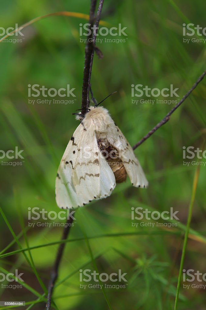 Gypsy moth (Lymantria dispar) on a twig in a forest stock photo