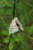 Gypsy moth (Lymantria dispar) on a twig in a forest