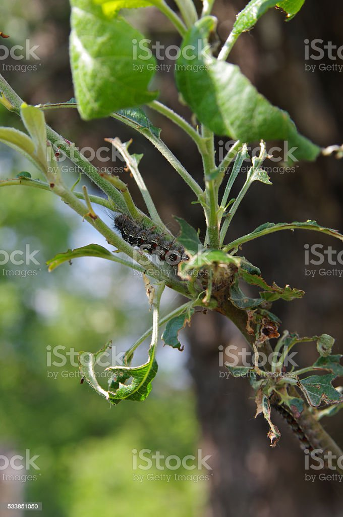 Gypsy moth (Lymantria dispar) on an apple tree closeup stock photo