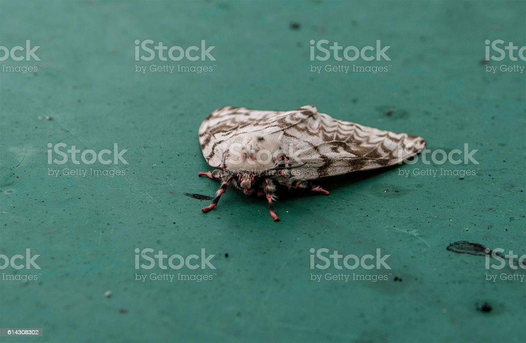 Gypsy moth stock photo