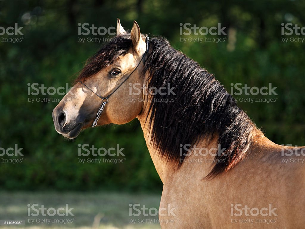 Gypsy Vanner Horse stallion portrait stock photo