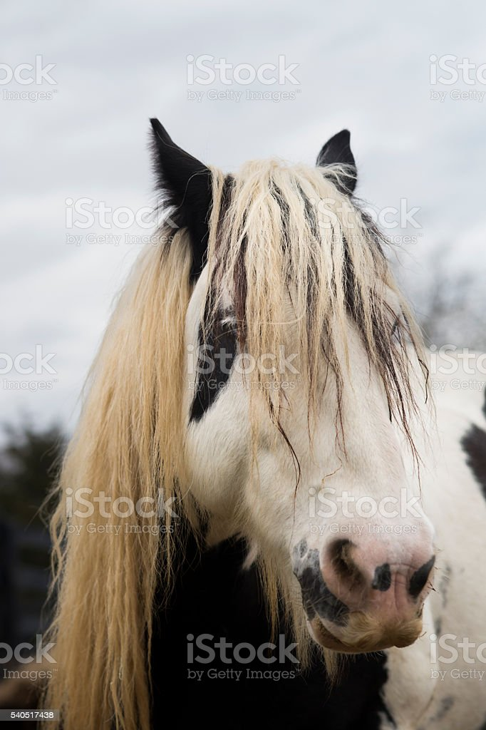 Gypsy Vanner horse with messy mane stock photo