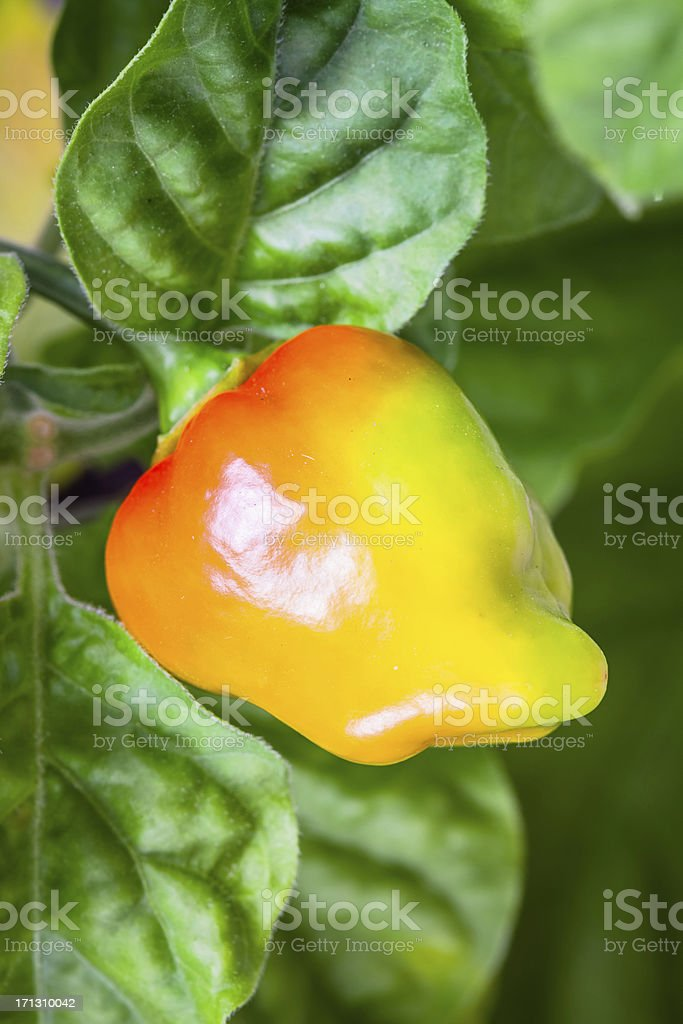 Habanero Chili Pepper Becoming Red on Plant stock photo
