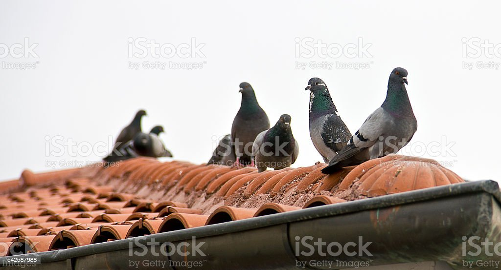 Hacı Bayram Veli Pigeons stock photo