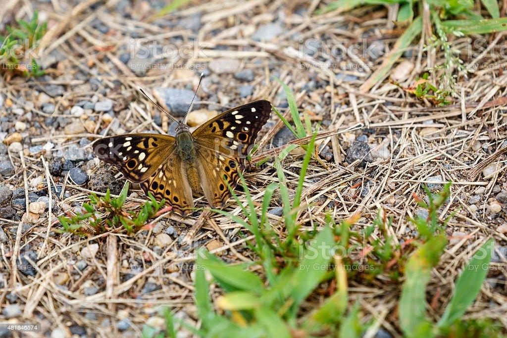 Hackberry Emperor Butterfly (Wings Open) stock photo