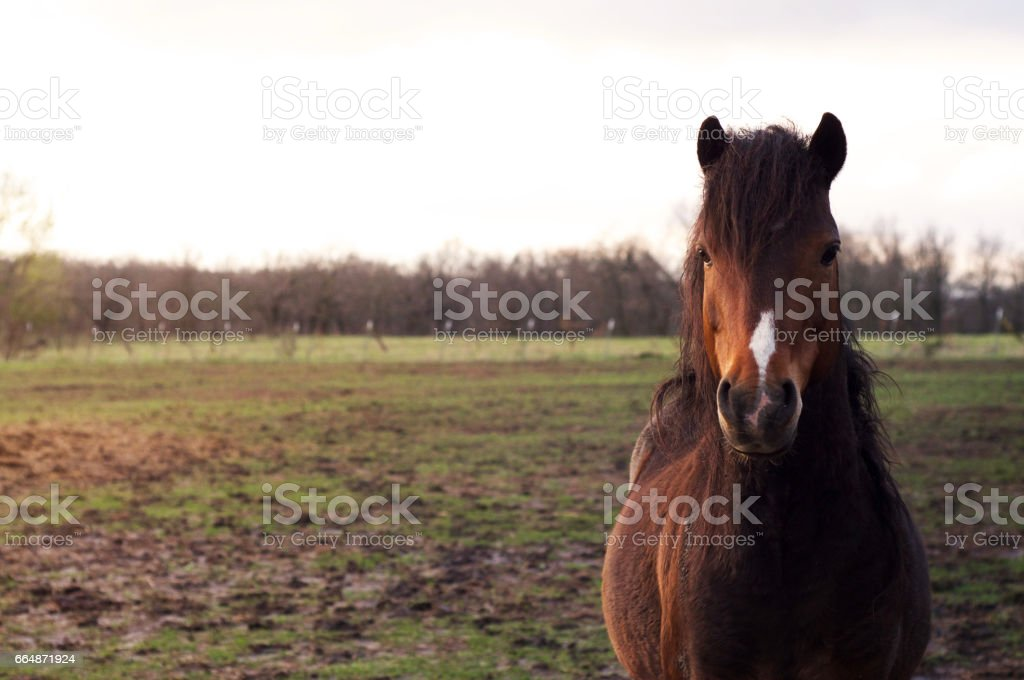 Hackney pony stallion stands in a muddy pasture any sun down. stock photo