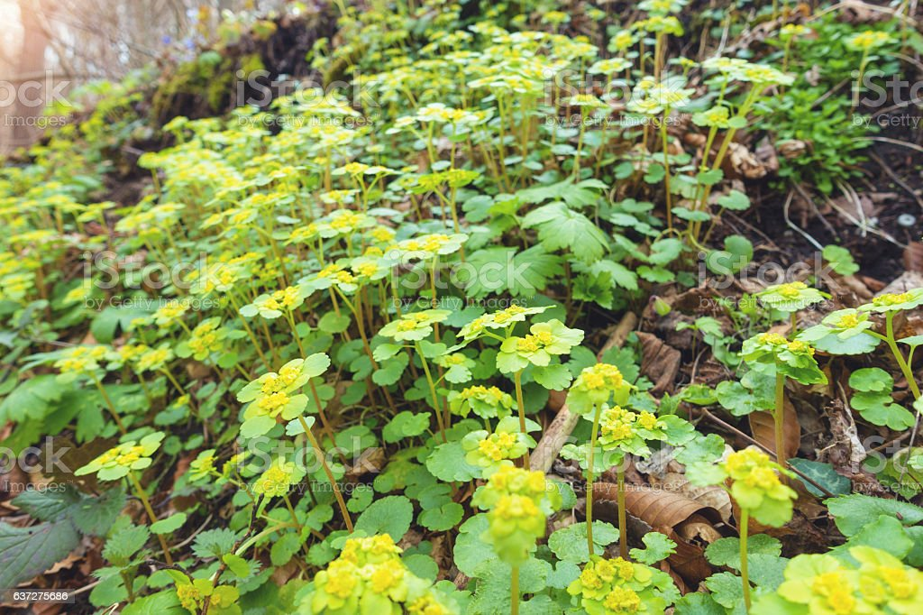 Hacquetia epipactis in forest stock photo