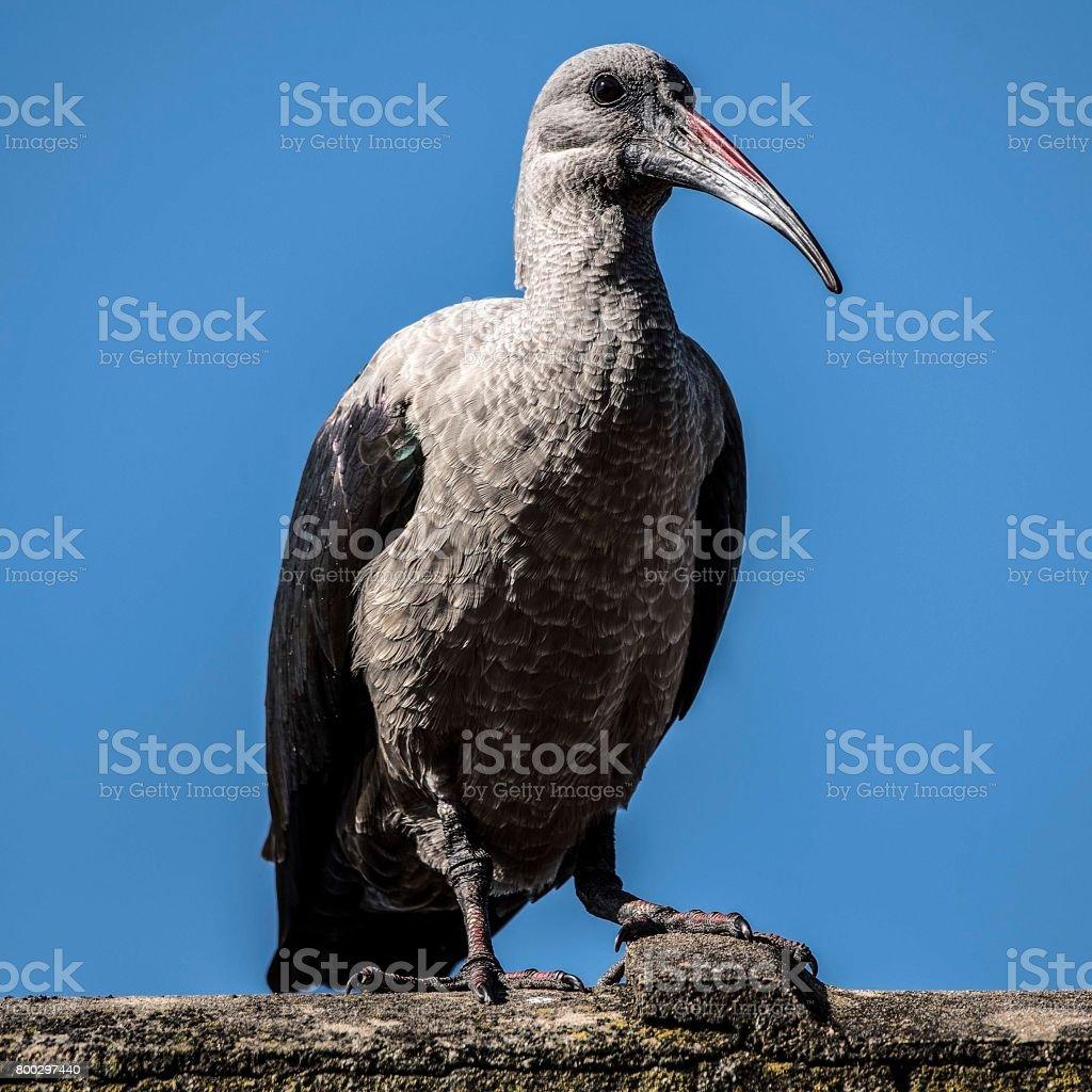 Hadeda Ibis, South Africa stock photo