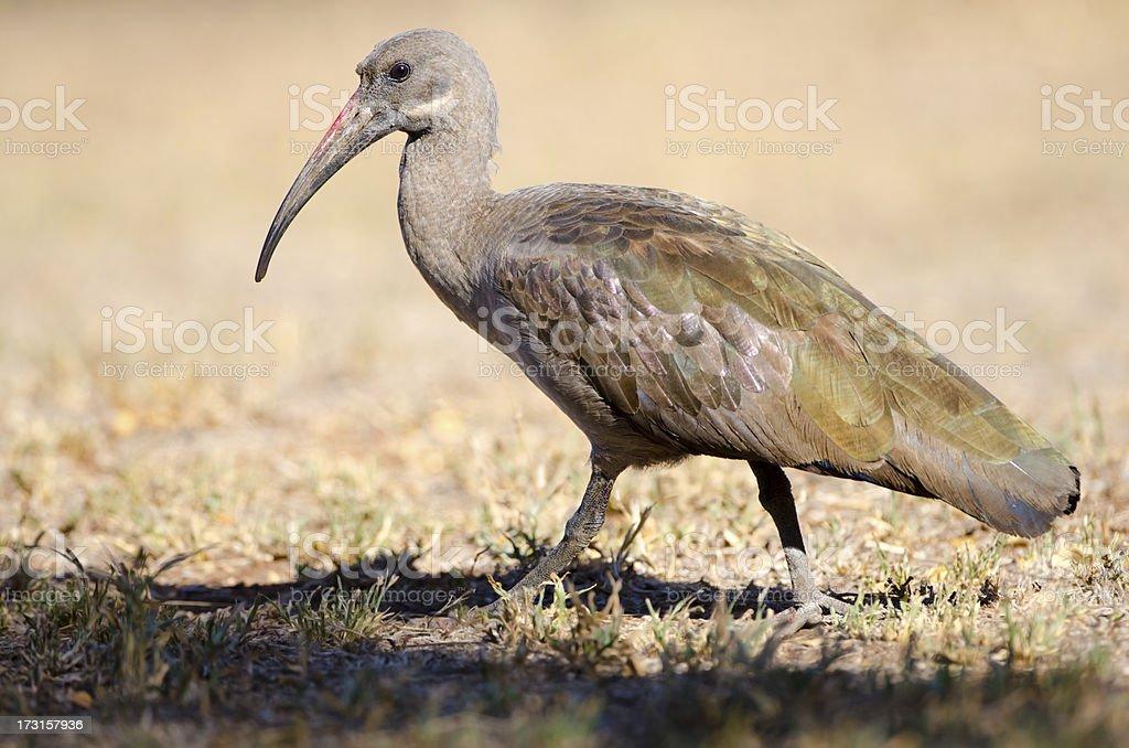 Hadedah Ibis - South Africa royalty-free stock photo