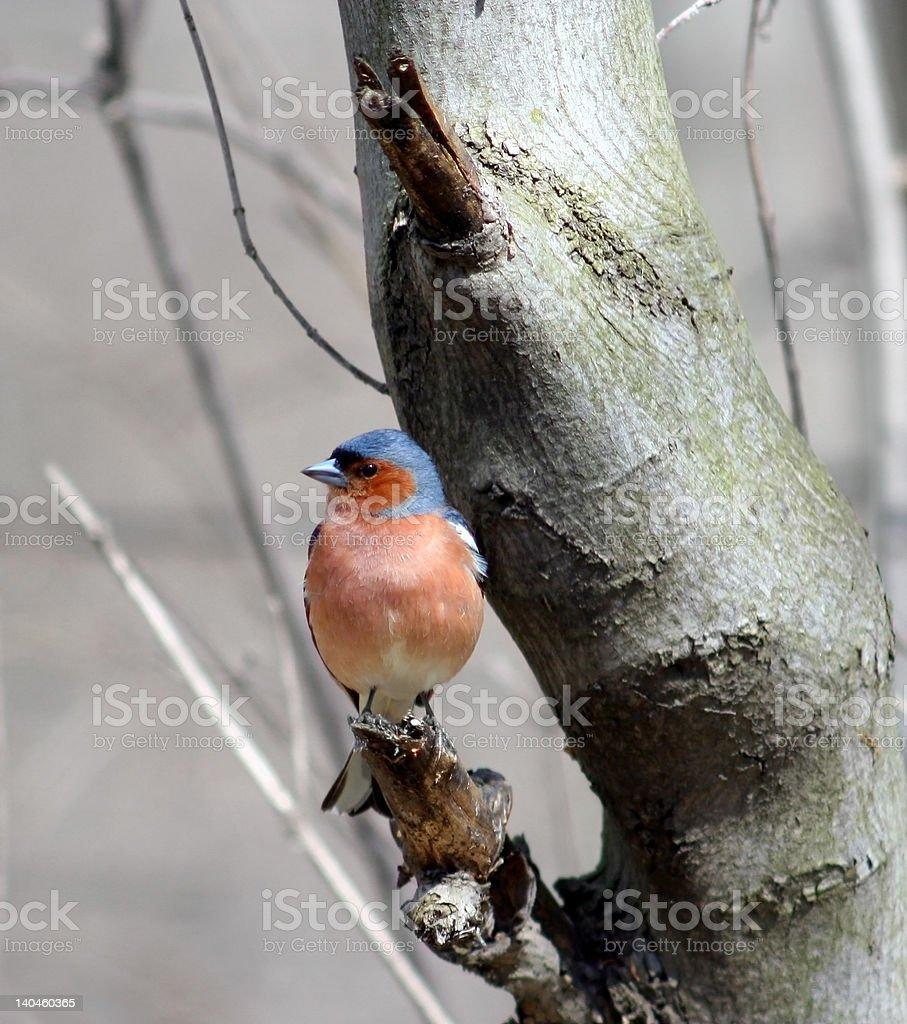 Сhaffinch ( Fringilla coelebs ) royalty-free stock photo