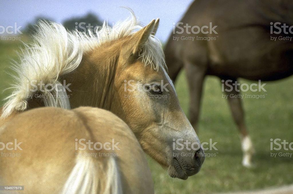 Haflinger horse -  foal portrait stock photo