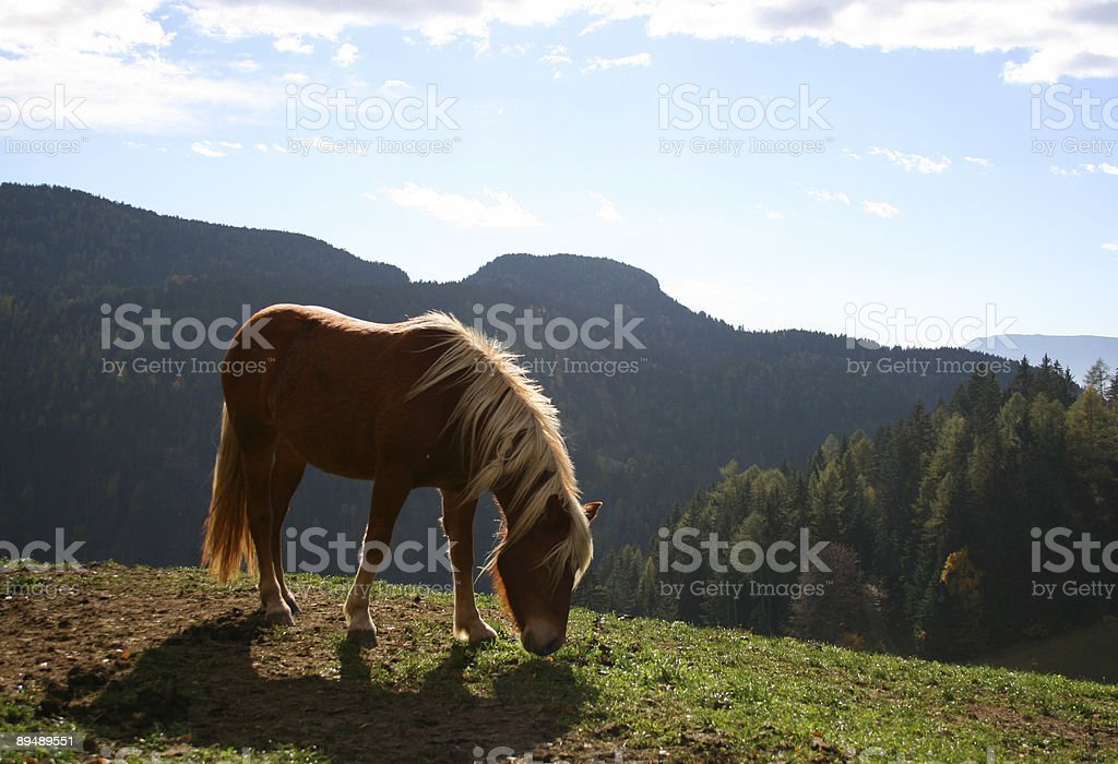 Haflinger horse in the Alps stock photo
