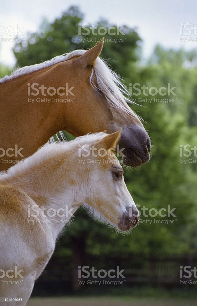 Haflinger horse - mare and foal portrait stock photo