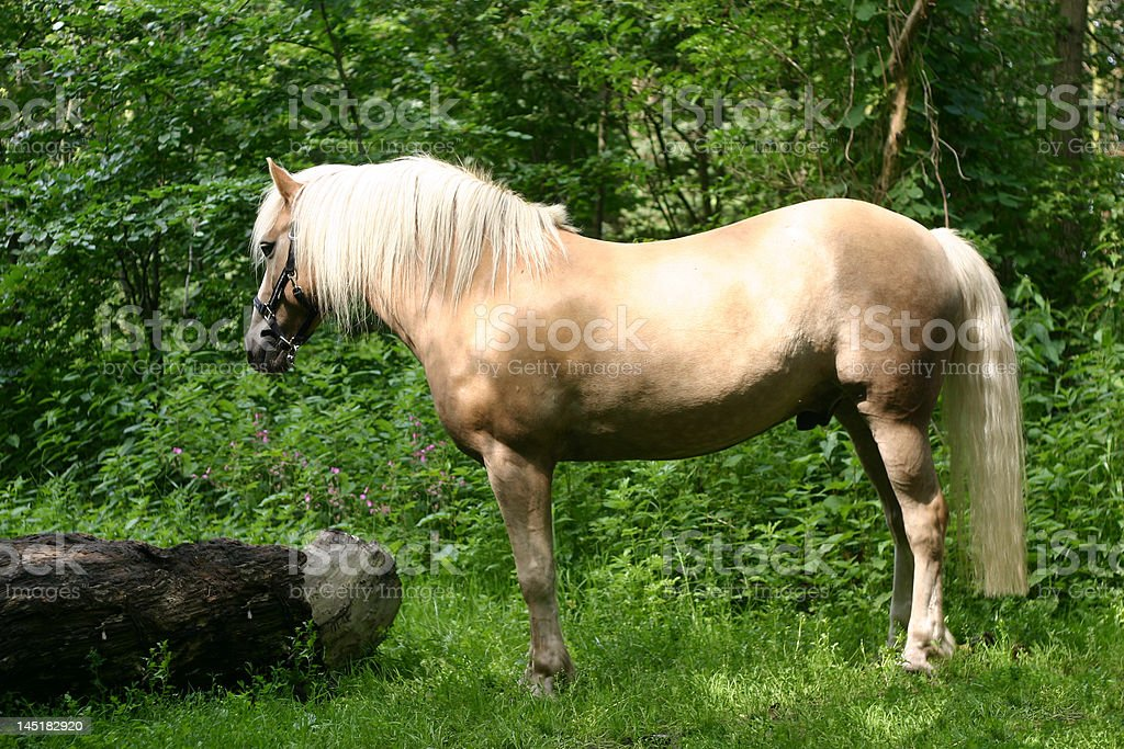 Haflinger horse stock photo