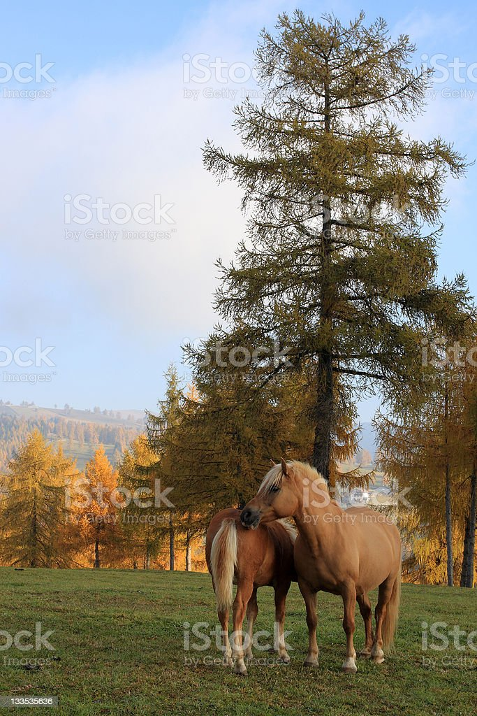 Haflinger horses in autumnal scenery stock photo