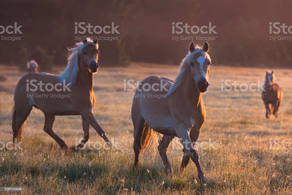 Haflinger horses in front of a morning landscape stock photo