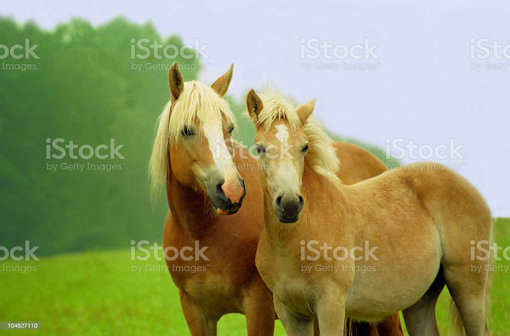 Haflinger horses - mare and foal stock photo