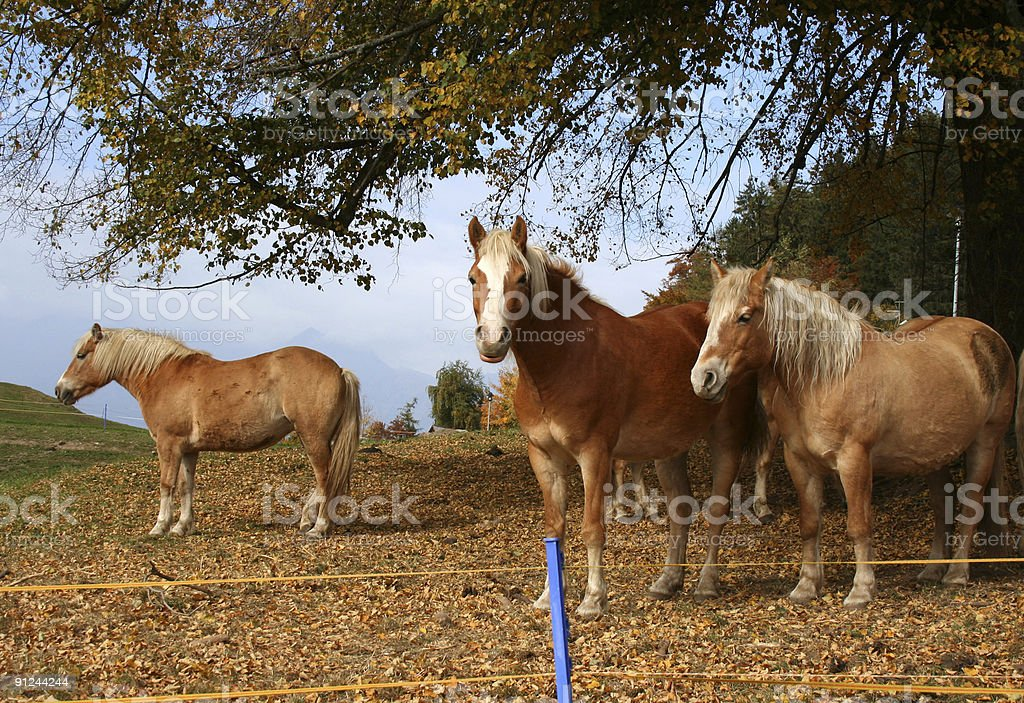 Haflinger Horses stock photo
