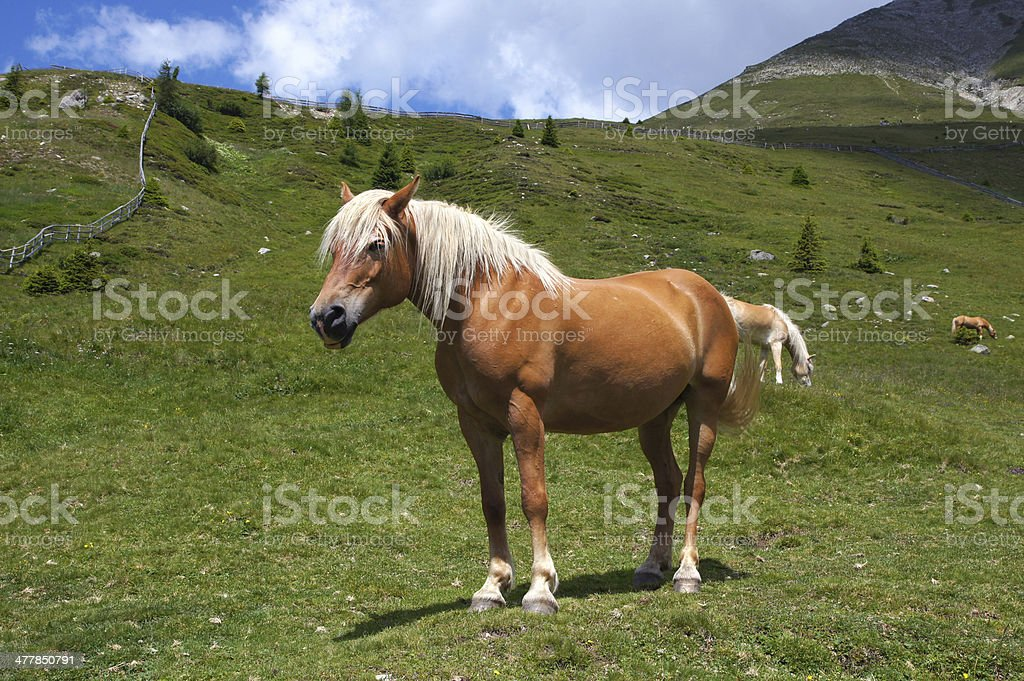 Haflinger in the mountain royalty-free stock photo