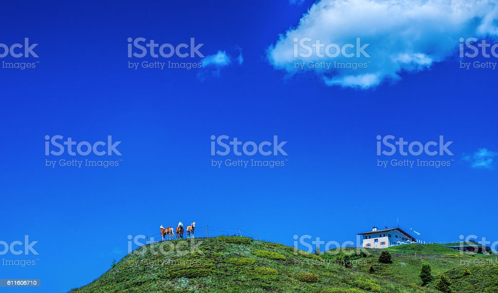 Haflinger in the mountains stock photo