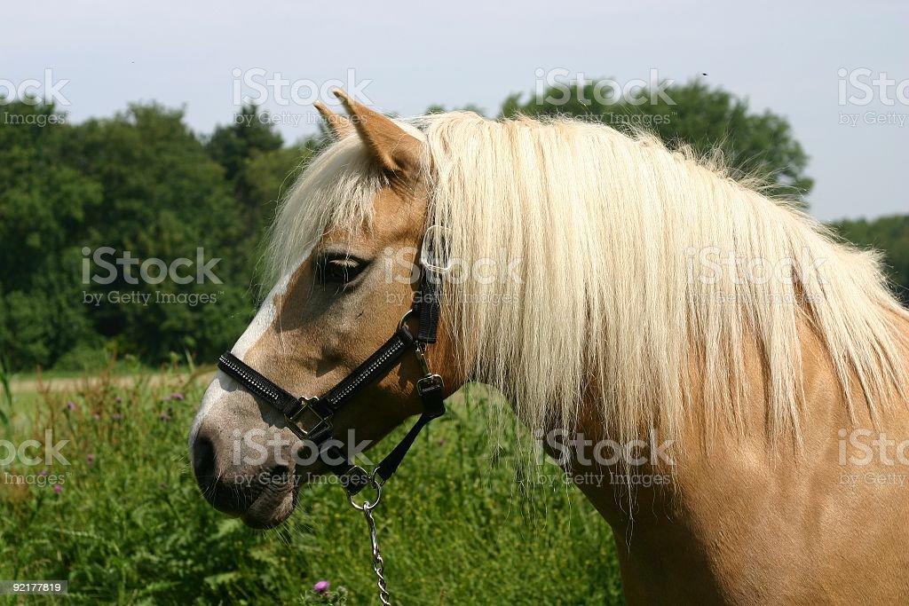 Haflinger pony royalty-free stock photo