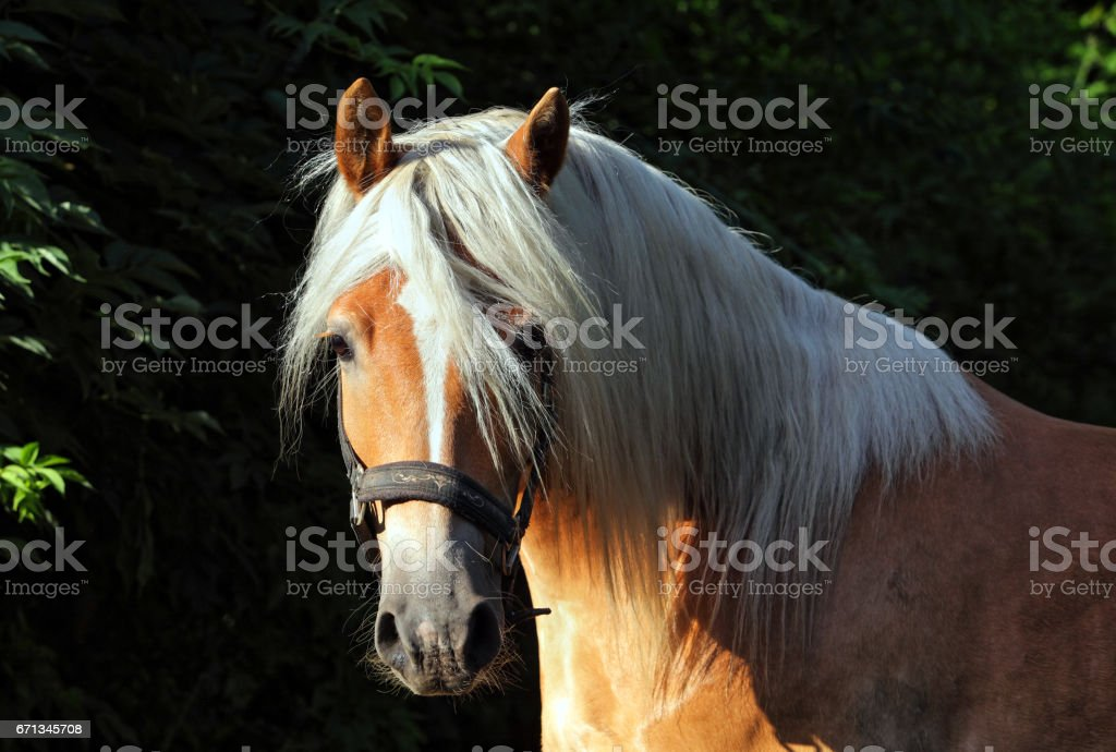 Haflinger, sorrel pony, portrait stock photo