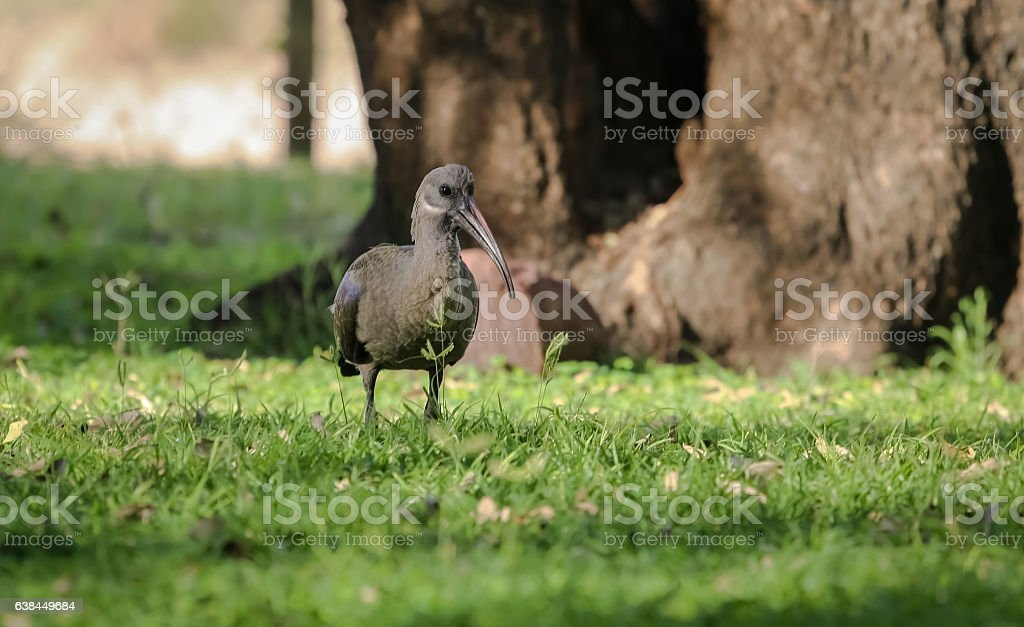 Hagedasch Ibis, Kruger National Park, South Africa stock photo