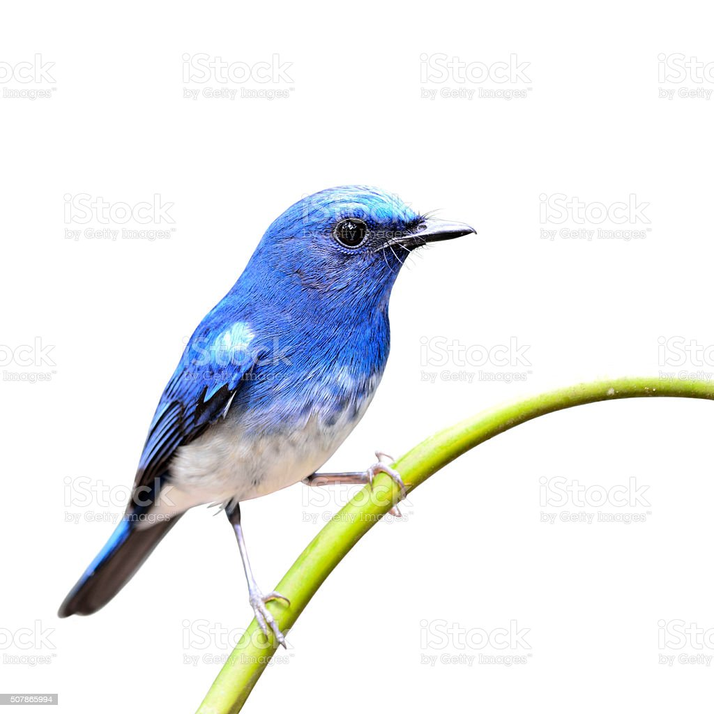 Hainan Blue Flycatcher the beautiful blue bird sticking stock photo