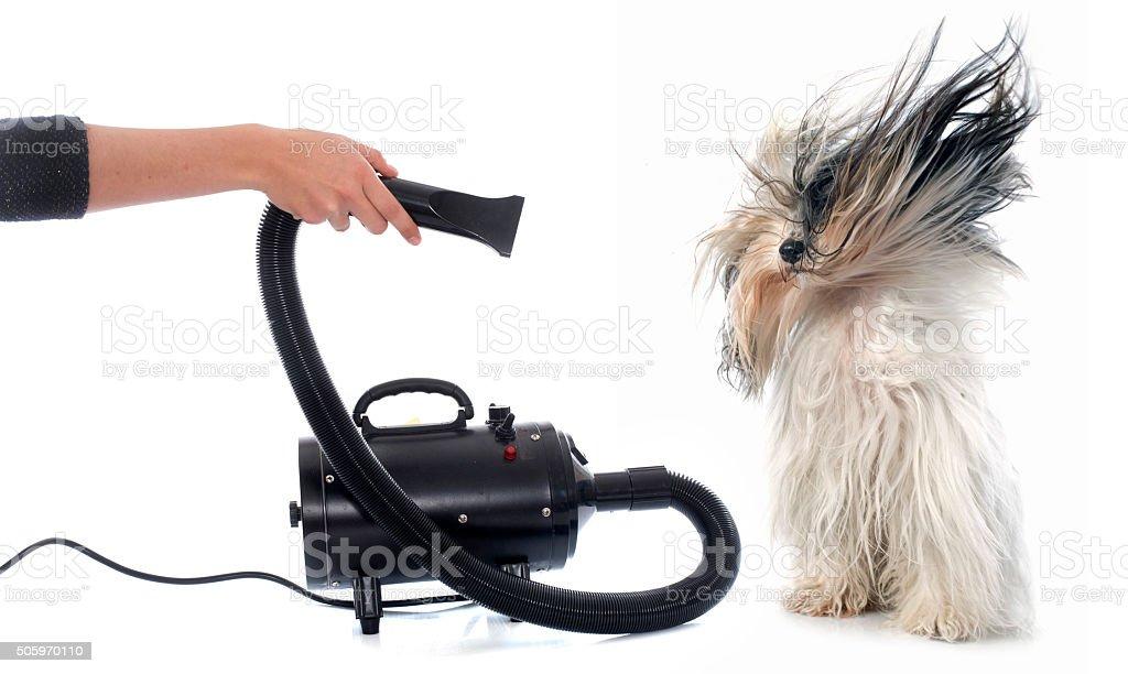 Hair dryer for dog stock photo